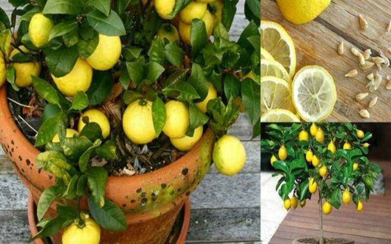 Comment cultiver des citrons illimités dans votre propre cuisine
