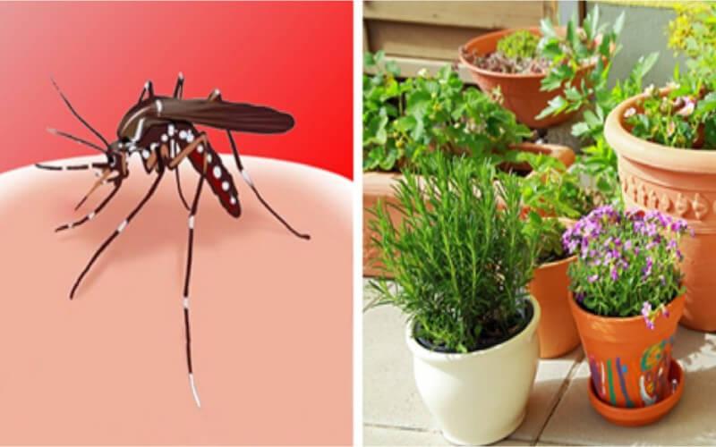 4 Plantes Insectifuges Contre Les Moustiques Très Faciles à Cultiver
