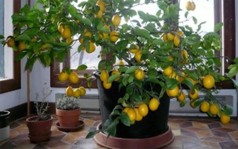 Faire pousser un citronnier avec une graine chez soi