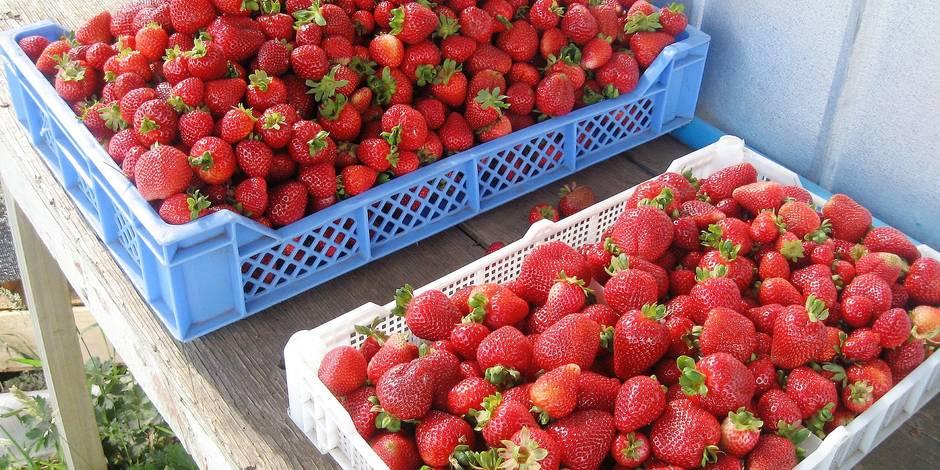 La fraise espagnole dangereuse pour la santé