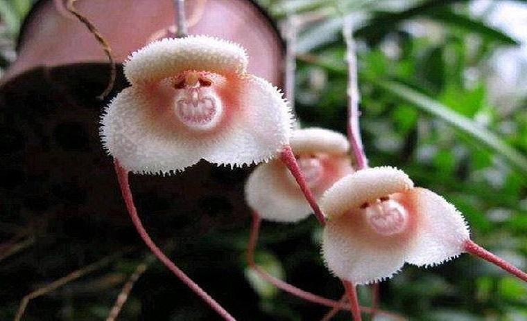 Les orchidées à tête de singe sont rares et très expressives
