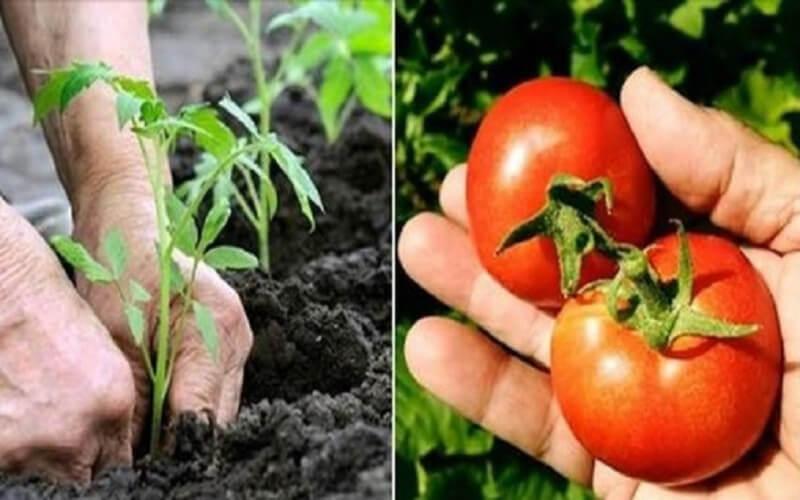 10 secrets de Jardinier pour faire pousser de belles et grosses tomates
