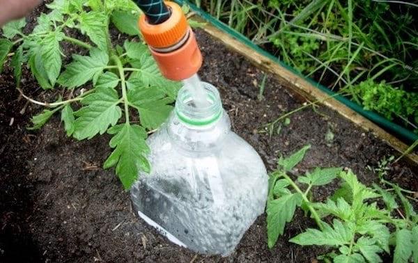 faire pousser des tomates: Arrosez en profondeur tous les 7 jours
