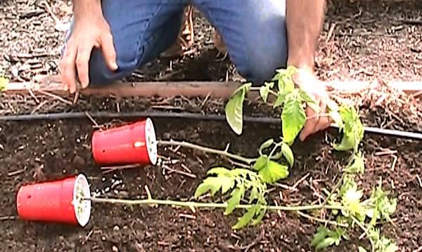 faire pousser des tomates: Ajoutez de nouveau plants de tomates trois semaines après