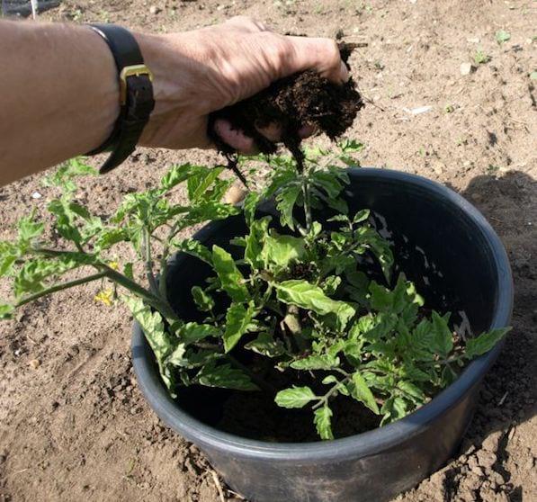 faire pousser des tomates: Ajoutez du compost au bon moment
