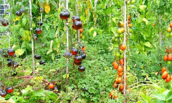 faire pousser des tomates: Utilisez des tuteurs pour que les tomates poussent facilement à la verticale