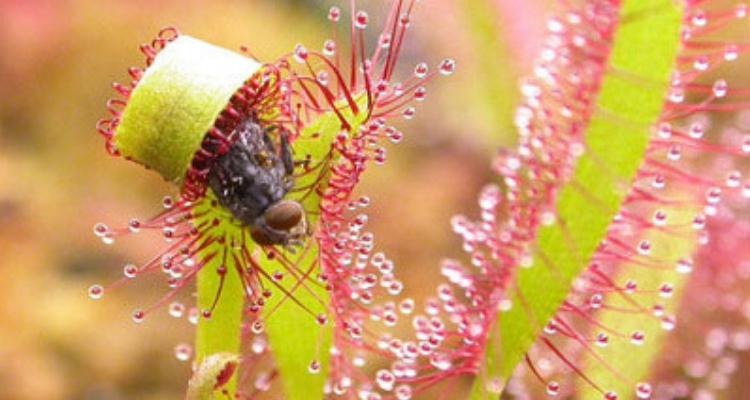 plantes-carnivores: Le droséra