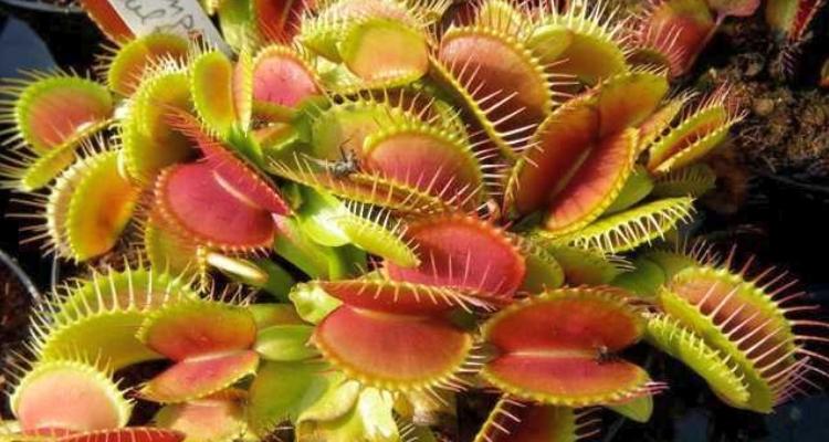 plantes-carnivores: La Dionée