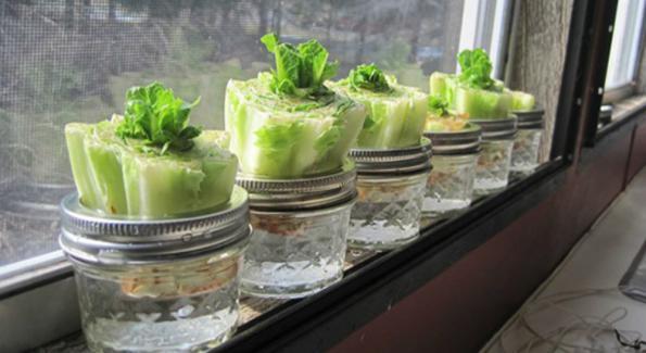 Astuces pour faire pousser les légumes: La laitue