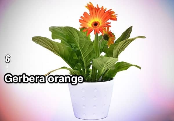 6. Gerbera orange