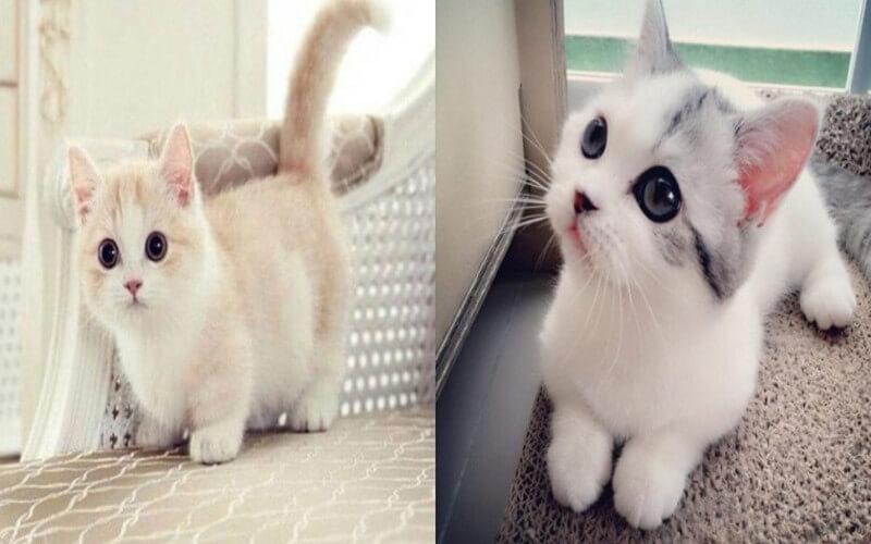 Le chat Munchkin, une race de chat qui reste petit et mignon toute sa vie