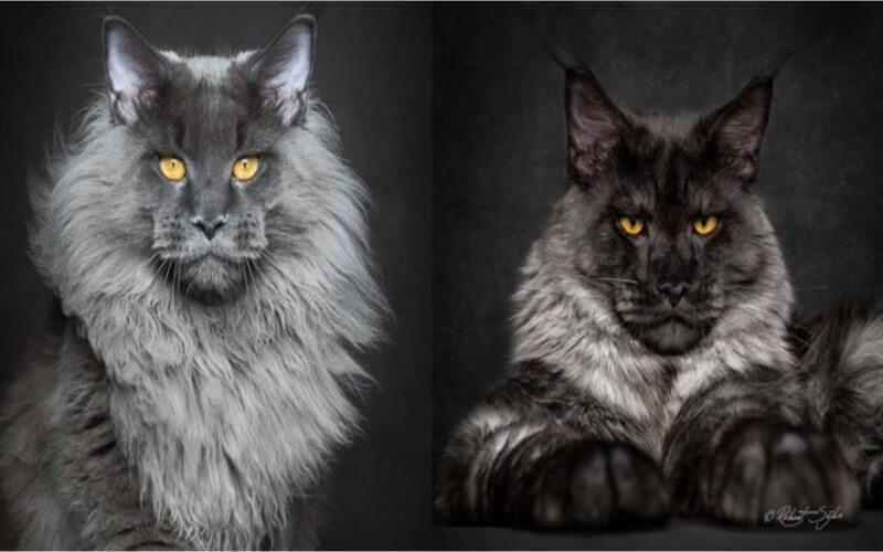 La preuve que les Maine Coon sont l'une des plus belles races de chats au monde..