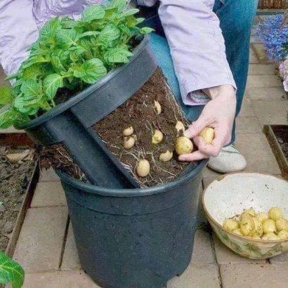 Sur le balcon, on cultive les pommes de terre dans un sac