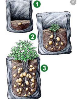 Cultiver des pommes de terre dans son appartement dans un pot avec des trous de drainage