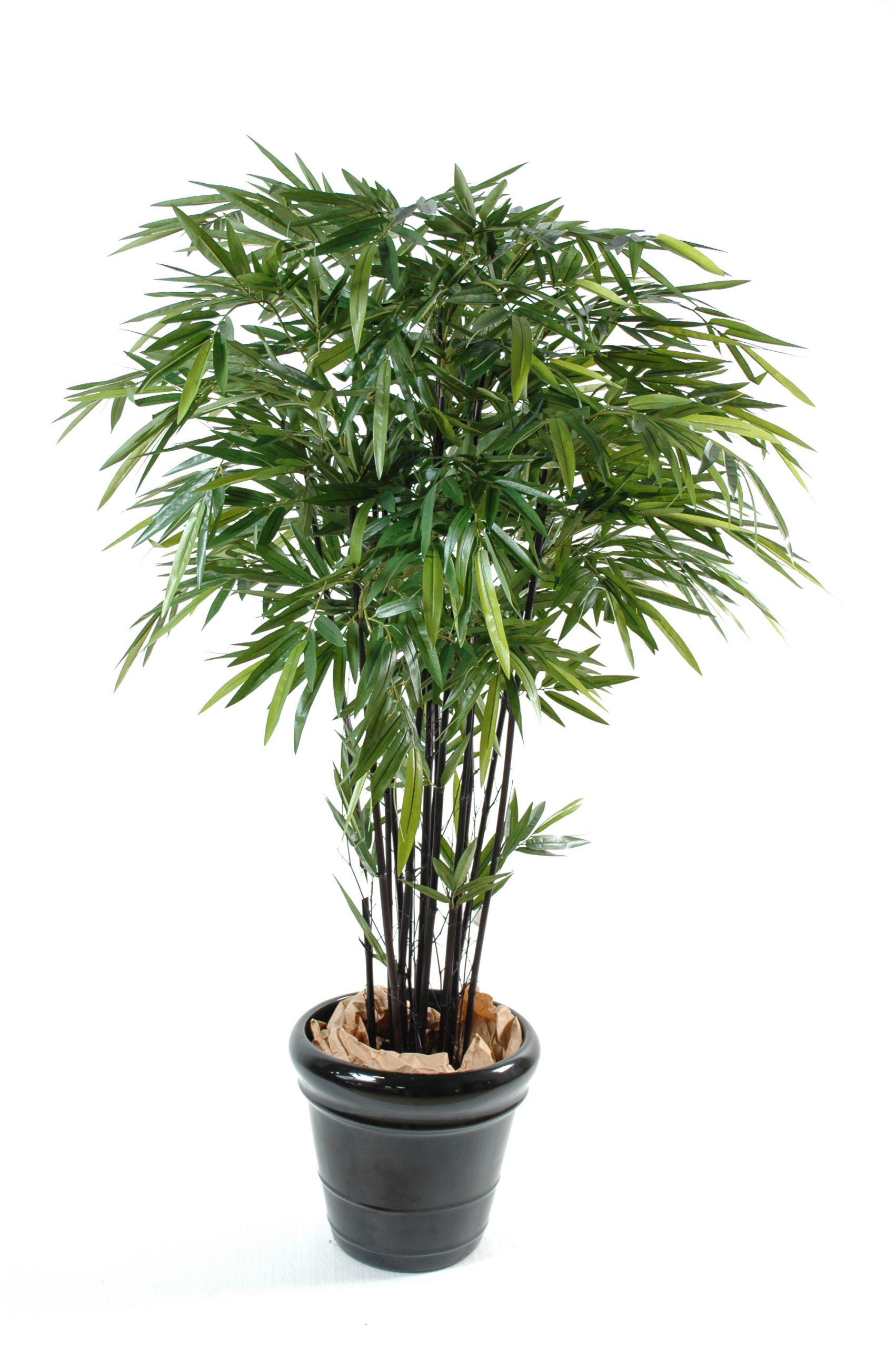 Le palmier bambou