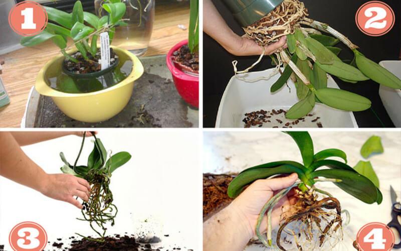 Comment rempoter une orchidée facilement