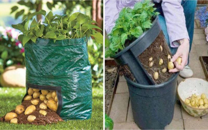 Cultiver des pommes de terre en appartement comment faire
